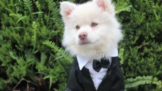 犬のフォーマル
